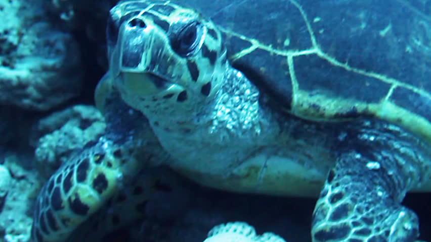 Hawksbill sea turtle (eretmochelys imbricata) feeding on the reef, Red Sea, Egypt. | Shutterstock HD Video #6578036