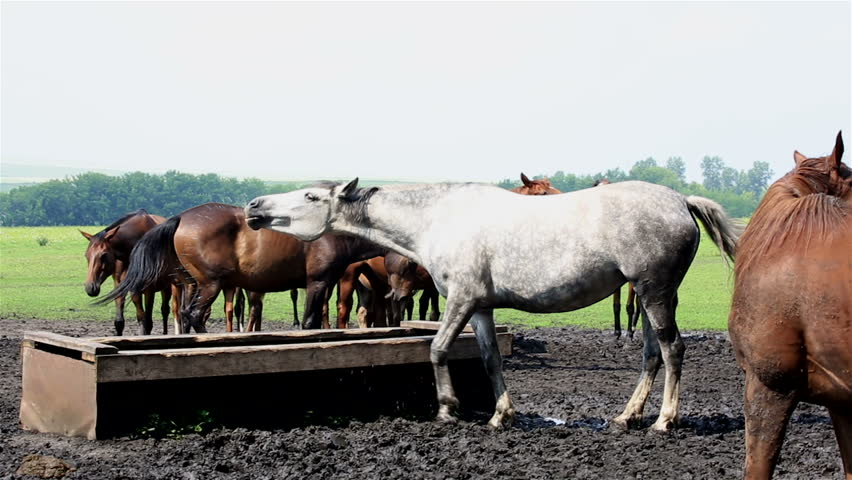 Horses nod their heads in unison (saved from annoying insects). | Shutterstock HD Video #6625766
