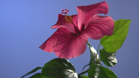 red hibiscus flower blooming in time-lapse  on a blue background.