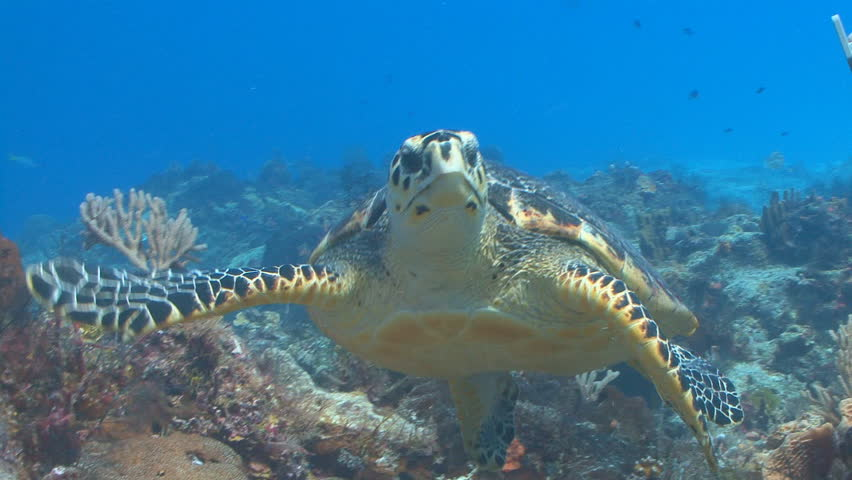 Hawksbill sea turtle swimming toward camera in Cozumel Mexico | Shutterstock HD Video #665089