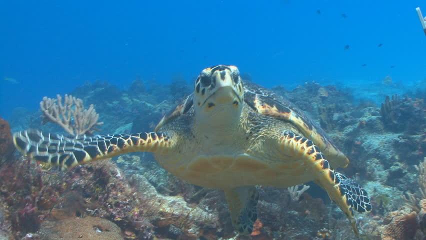 Hawksbill sea turtle swimming toward camera in Cozumel Mexico
