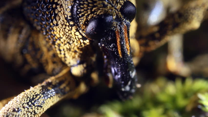 Tropical weevil from the Ecuadorian Amazon, close-up. #6673736