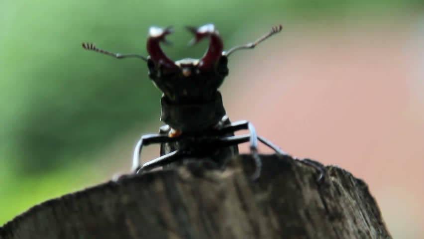 Beetle deer in the wild.Stag beetle takes off from the trunk of the tree.Insect stag beetle.