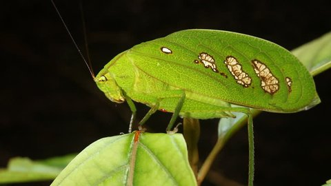 Green rainforest katydid. A very convincing leaf mimic, even has windows in the wing resembling fungus damaged patches, Ecuador.