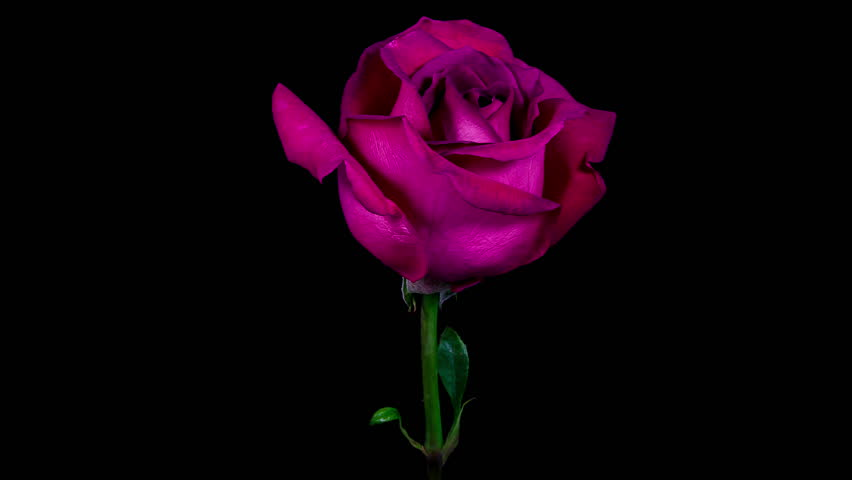 Timelapse of a purple rose flower blooming and fading on black background in 4K (4096x2304)