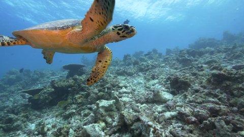 Hawksbill sea turtle swimming toward camera in Maldives
