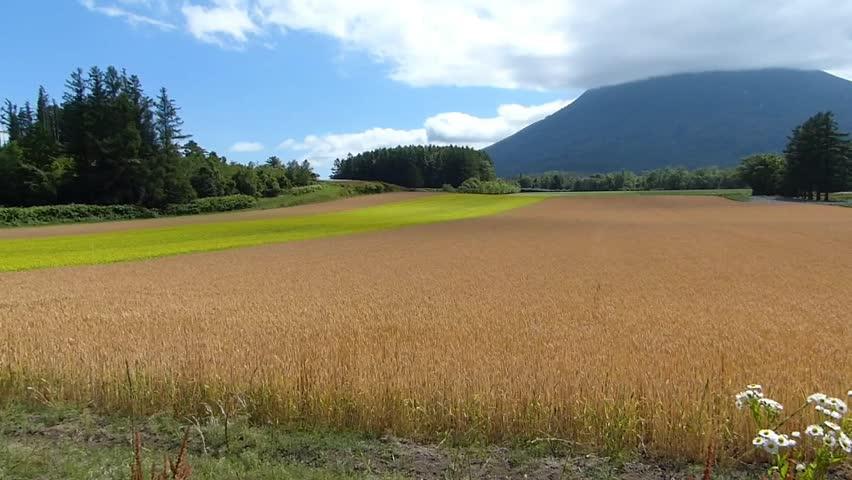 Line yellow rape fields and wheat fields._2 / Shooting date; July 21,2014 Location;. Hokkaido,Japan /  Rape fields of bright colors planted like a line in the vast wheat fields. Countryside of Japan.