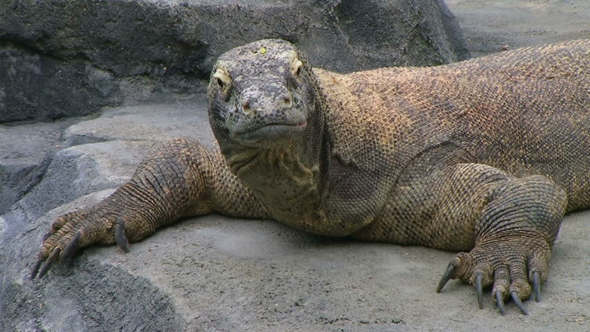 Komodo dragon, largest living species of lizard, looking around while laying on rock.