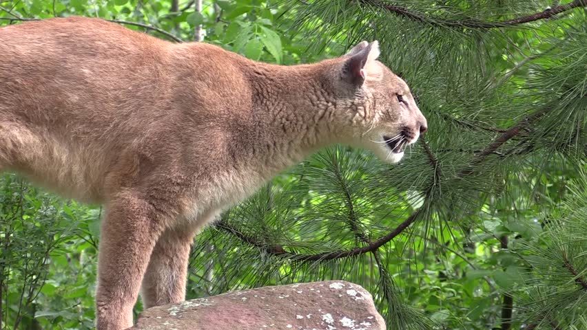 A cougar jumps down from rocks