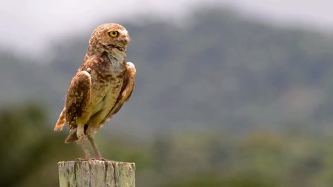 Surprised Burrowing Owl