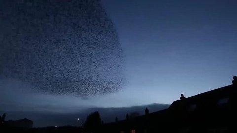 Starling murmuration in flight. Herefordshire. June 2014