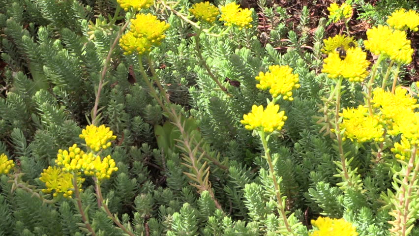 Yellow succulent orpin plant flower stock footage video 100 yellow succulent orpin plant flower stock footage video 100 royalty free 7054936 shutterstock mightylinksfo