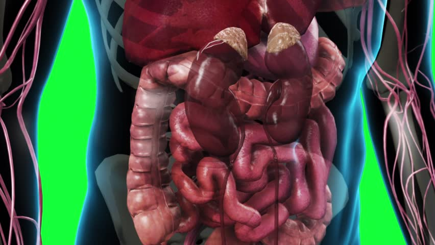 Abdominal Area Of A Human Male With Transparent Skin Showing The