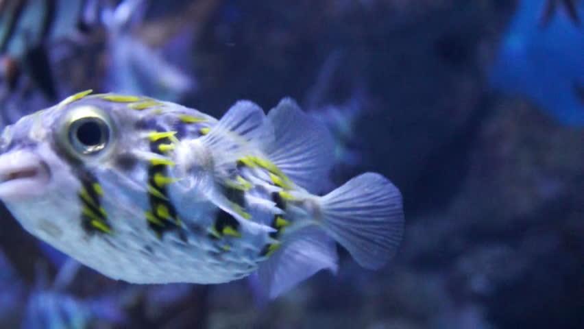 Umbrella puffer fish