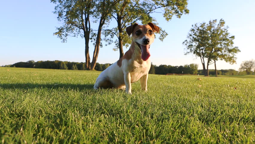 Beautiful young dog lying sitting, licking on the grass resting after active play. #7213666