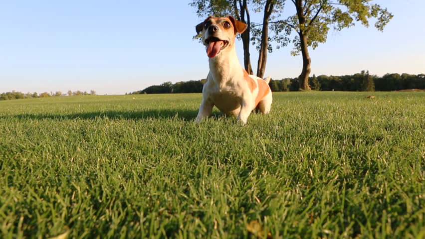 Agitated young healthy active dog runs on a green field with trees. Funny Jack Russell Terrier best dog! #7270906