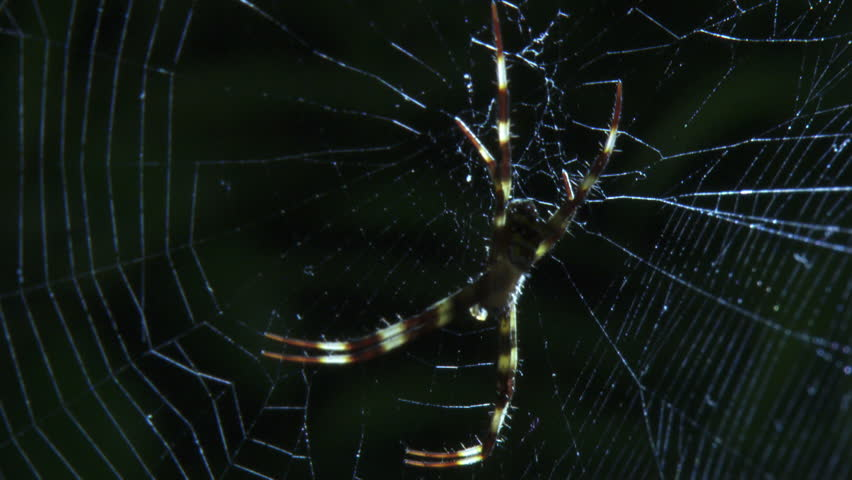 St Andrew's Cross Spider on a web and a Portia Spider on a branch