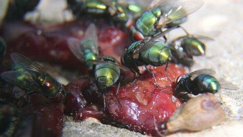 Greenbottle flies feeding on some rotten meat outdoors