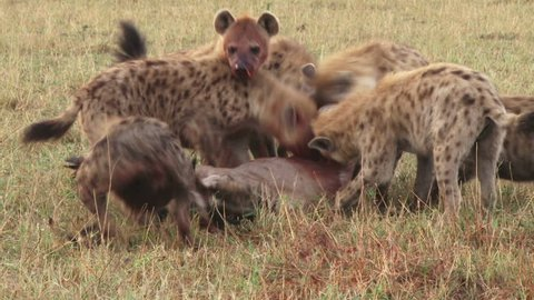 Cries of a wildebeest as it is eaten by hyenas.