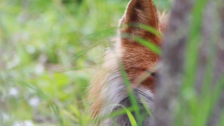Red fox close up | Shutterstock HD Video #7411741