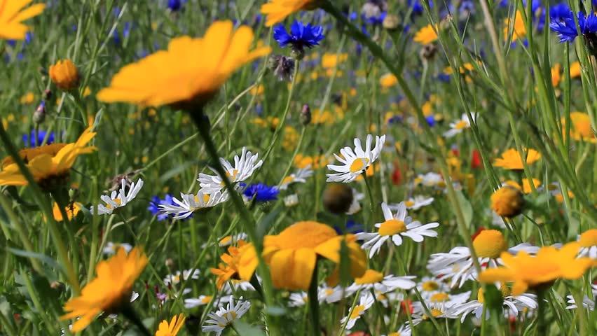 Full meadow of wild flowers in light breeze | Shutterstock HD Video #7417306