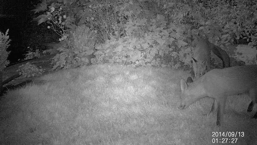 Urban Fox in house garden by infra red light. - HD stock video clip