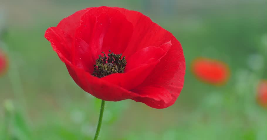 Beautiful poppy flower bloom on spring field slider 4k video shot beautiful poppy flower bloom on spring field slider 4k video shot stock footage video 7611616 shutterstock mightylinksfo Image collections