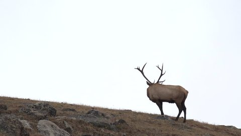 A Rocky Mountain bull elk standing on a mountain side above the tree line along Trail Ridge Road in Rocky Mountain National Park
