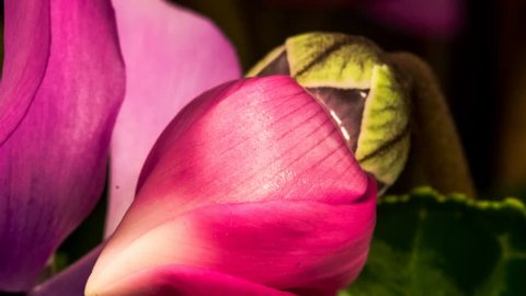 Beautiful delicate pink flowers blooming and growing fast in close up time lapse, house plants Cyclamen opening petals, 4K