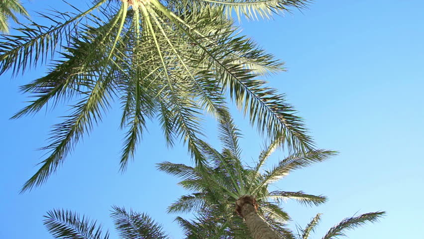 Stock Video Clip Of Top Of Coconut Palm Tree On Blue Shutterstock