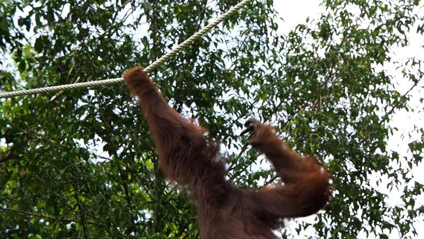 Wild Borneo orangutan swinging through the forest using rope at the Semenggoh Nature Reserve near Kuching, Sarawak, East Malaysia.