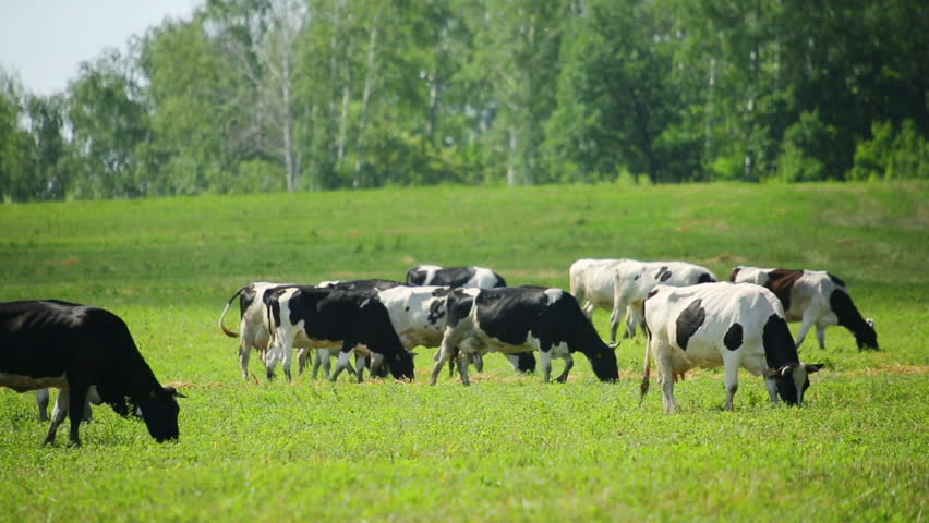 Herd of cows on pasture | Shutterstock HD Video #7712569