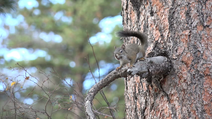 A Pine Squirrel Sitting in Stock Footage Video (100% Royalty-free) 7736836  | Shutterstock