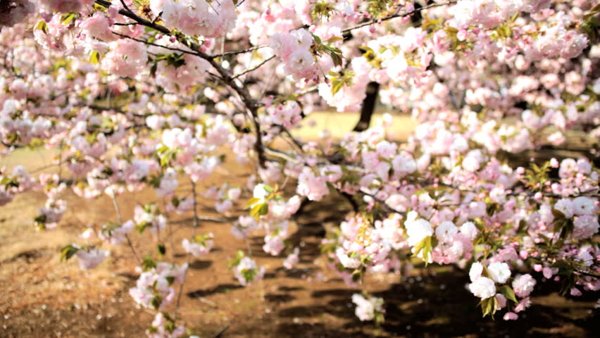 Sakura Trees Pink Japanese Cherry Stock Footage Video 100