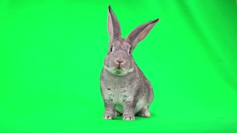rabbit is frightened and runs away from the green screen