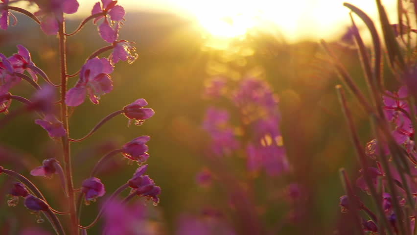 Late evening sunset shot with filtered light and distant sun illuminating bees still working the fireweed blooms in summer.