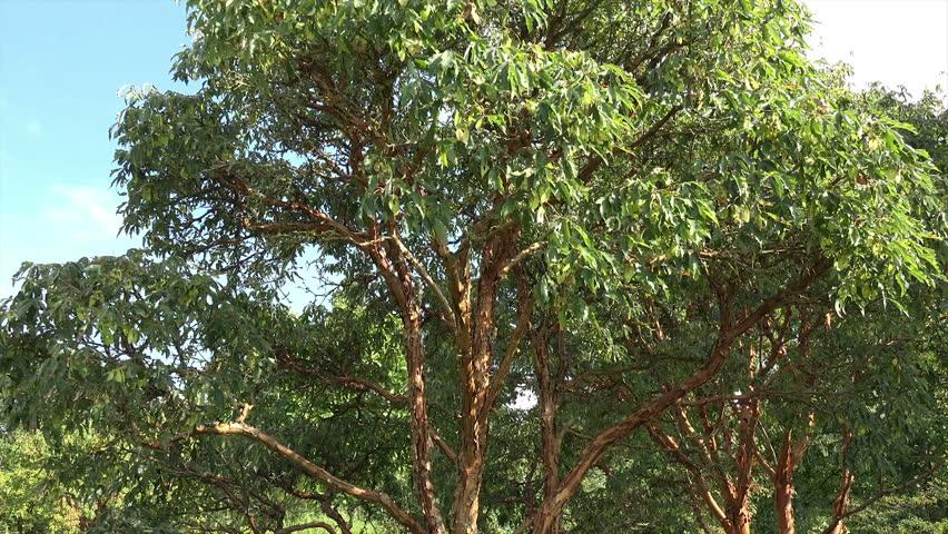 Header of Acer griseum