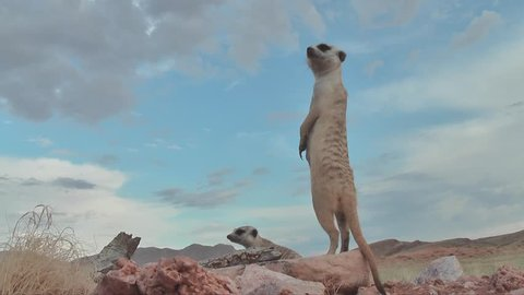 two suricates standing upright, looking around