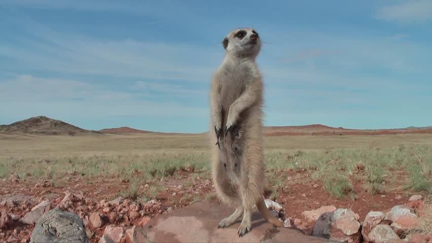 female suricate standing upright, looking around #7916176