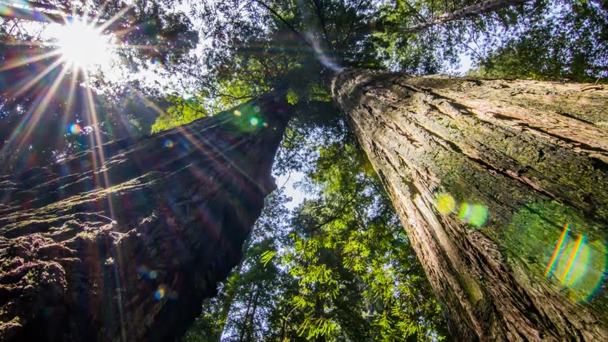 Moving slowly between two massive Redwood Trees while looking up at the canopy.
