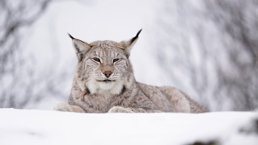 Lynx in winter scenery. Laying on ground watching around. Low angle shot