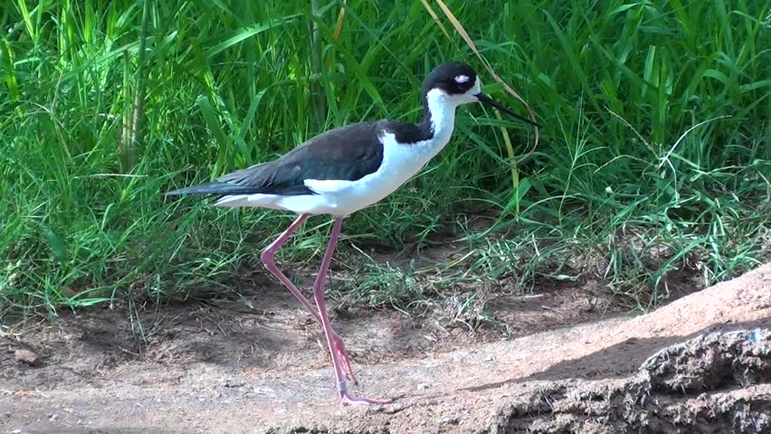 Footage of a Black Neck Stilt bird.