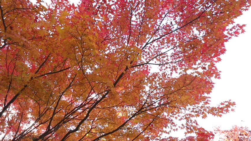 Header of Acer Palmatum
