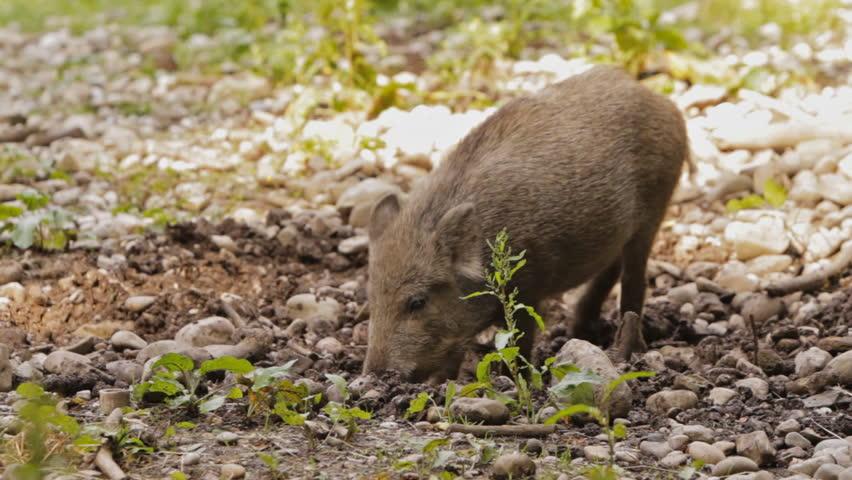 young wild hog digging