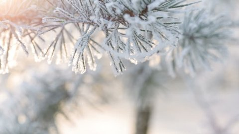 Fir branches covered with hoar frost shoot in RAW, slide movement