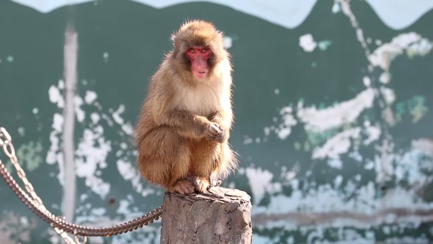 Baby snow monkey clap for food.