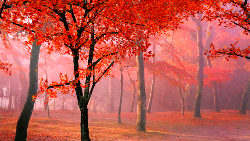 red maple leaves falling from the trees in autumn/fall morning, #826195