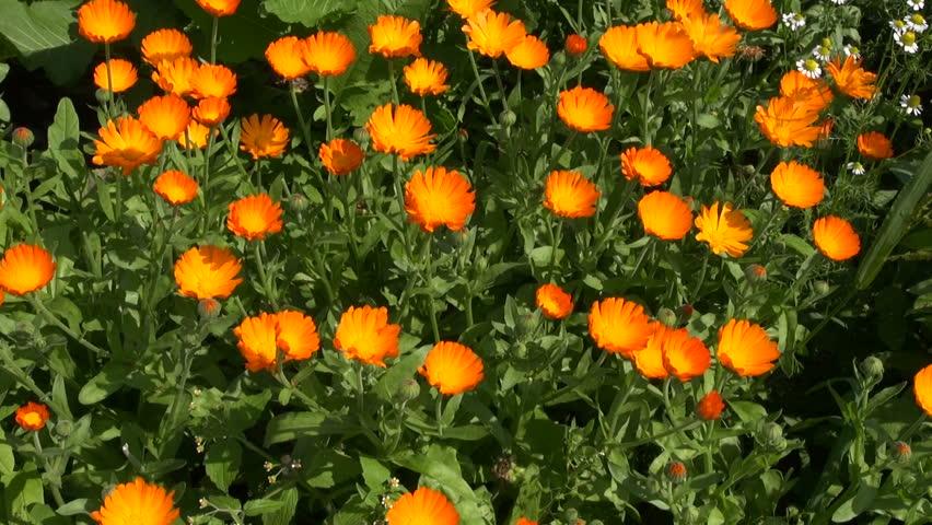 3d0ab3990 Harvesting Beautiful Calendula Officinalis Marigold Stock Footage ...