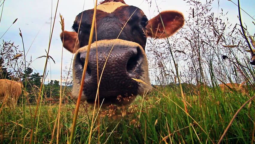 Extreme closeup ants eye view of dairy cows head and tongue eating grass.  At the end of the clip she licks the lens | Shutterstock HD Video #840583