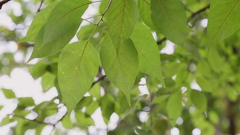 A closer look at the leaves of an Osage Orange.